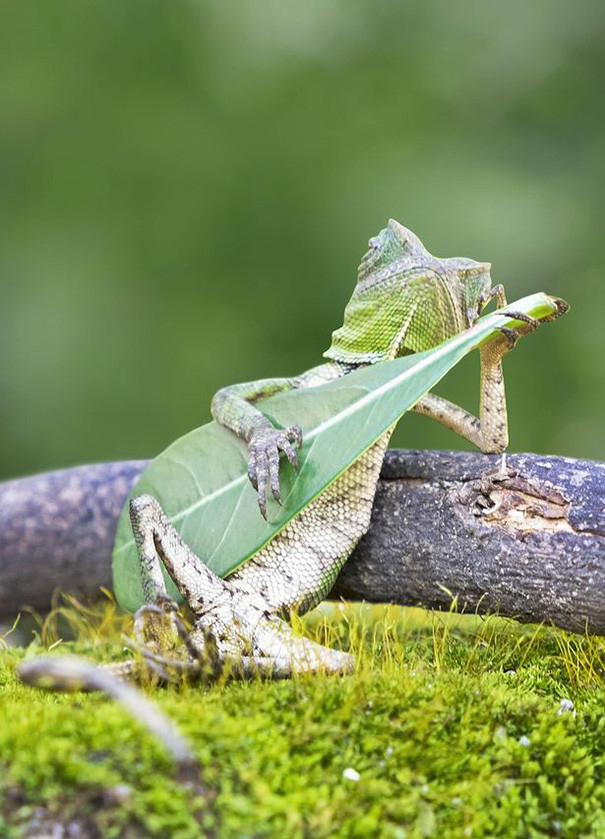 Indonesian Photographer Captures A Dragon Lizard Playing Leaf Guitar, And It's Glorious