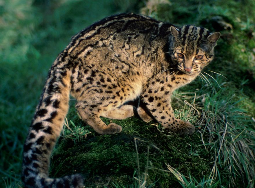 Endangered Animals Wild Cats That Are Disappearing From