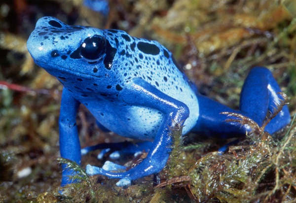 Most Poisonous Frogs in the World - Blue Poison Dart Frog
