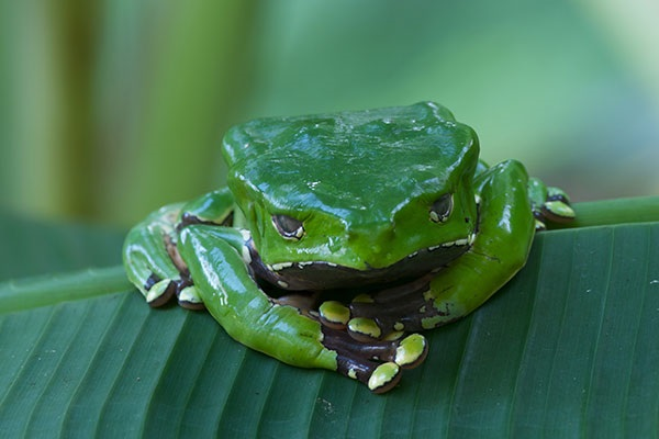 Most Poisonous Frogs in the World - Giant Leaf Frog