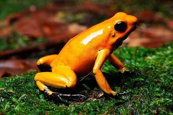 Most Poisonous Frogs in the World - Golden Poison Frog