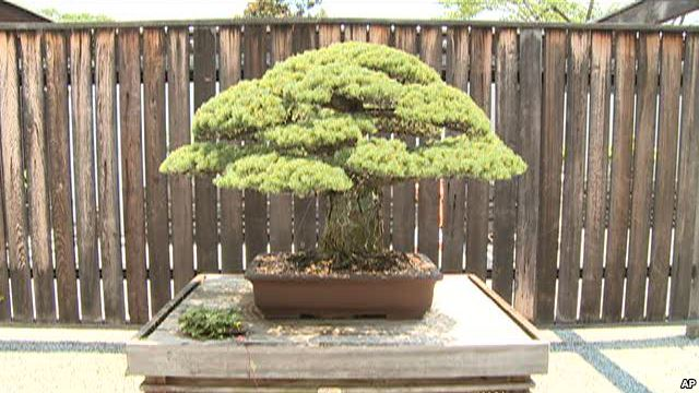 400-Year-Old Bonsai Survived Hiroshima Bombing