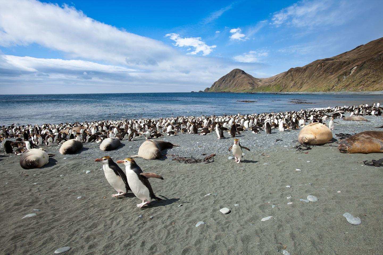 Macquarie Island – Penguins, penguins, penguins
