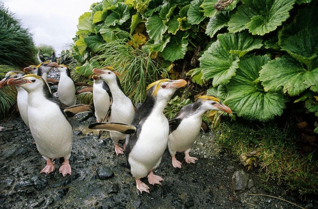 Royal Penguin (Eudyptes schlegeli) group walking to colony past Macquarie Island Cabbage (Stilbcarpa polaris) both endemic to Macquarie Island, Australia