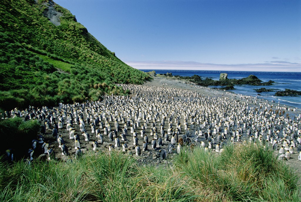 King Penguin (Aptenodytes patagonicus) colony on Macquarie Island, sub-Antarctica Australia