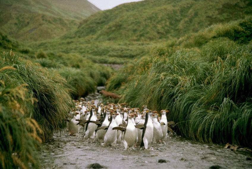 Macquarie Island Where Penguins Rule