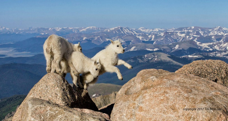 Cute baby goats playing fearlessly at the top of the mountain