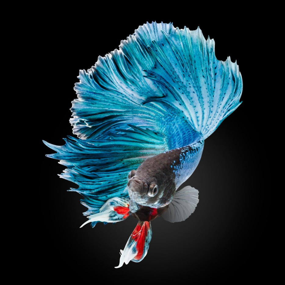 Betta fish, a fascinating aquarium fish
