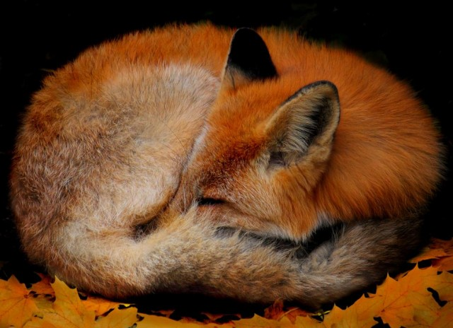 19 Photos of Adorable Sleepy Foxes