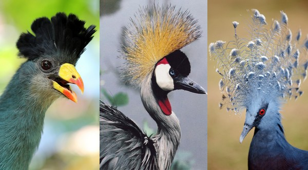 10-Beautifully-Crowned-Birds