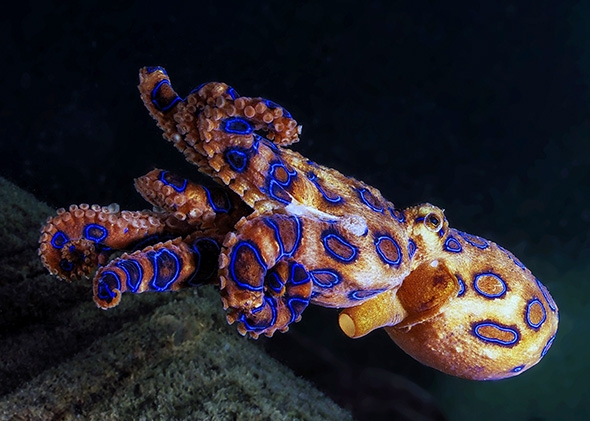 5 Most Venomous Animals in The World - Blue Ringed Octopus