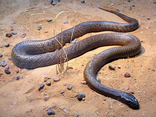 5 Most Venomous Animals in The World - Inland Taipan
