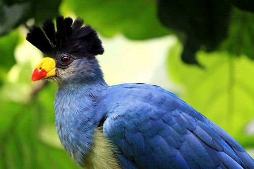 Beautifully Crowned Birds - 1. Great Blue Turaco