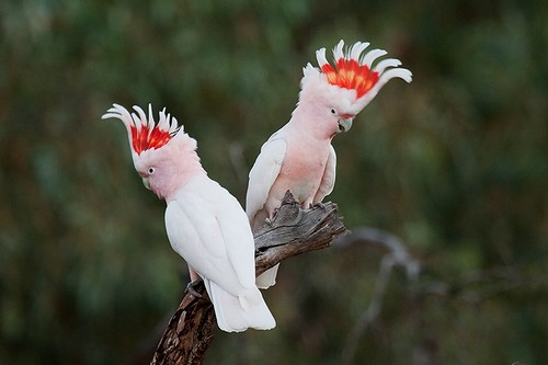 Beautifully Crowned Birds - 10. Major Mitchell's Cockatoo