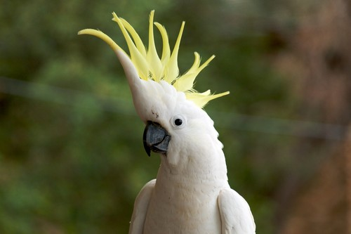 Beautifully Crowned Birds - 2. Sulphur Crested Cockatoo