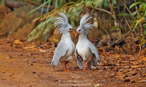 Beautifully Crowned Birds - 4. Kagu